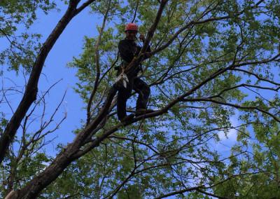 Élagage d'abres en cours - Service d'entretien d'arbres Viau