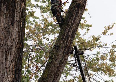 arbre abatu à l'aéroport de Dorval(abattage d'arbre) - Service d'entretien d'arbres Viau.jpg